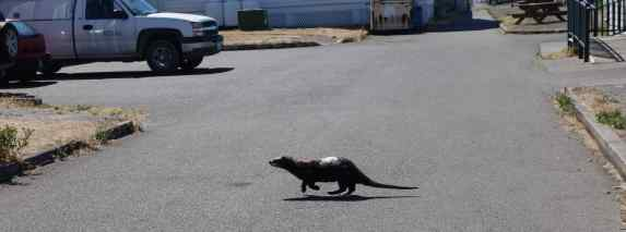 …the otter raced off across the road.