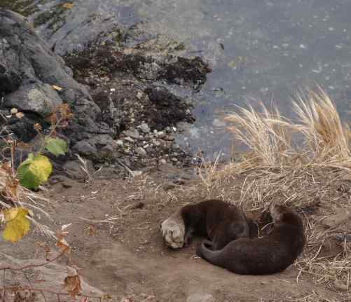 Now our pace picked up. We rounded a bend and glanced down. STOP! See the otters sleeping on the rocks?