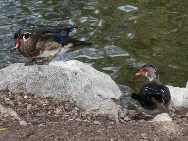 Of course, we went there to see birds, and we did. We always enjoy seeing the colorful wood ducks.