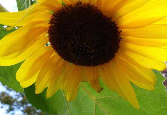 The garden was very small – maybe 20' x 20' - and filled with a variety of perfectly chosen plants, including this sunflower.