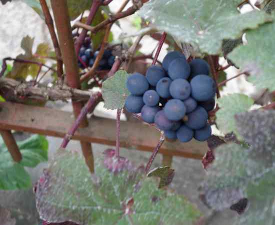 Hugging the fence, little grapes hid from view.