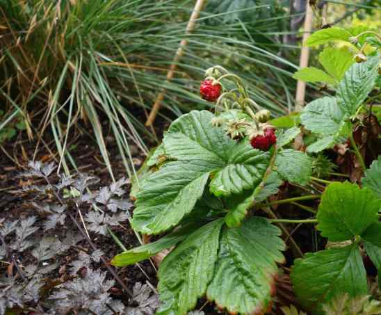 …and Fall-bearing strawberries.