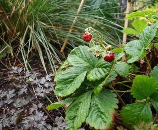 …and Fall-bearing strawberries.