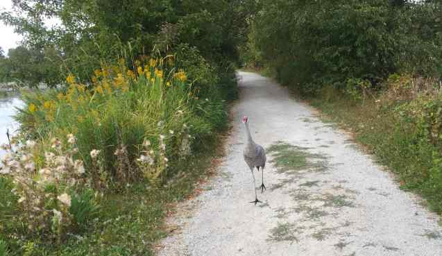 But the crane had other ideas. As we left, it followed in our tracks down the path.