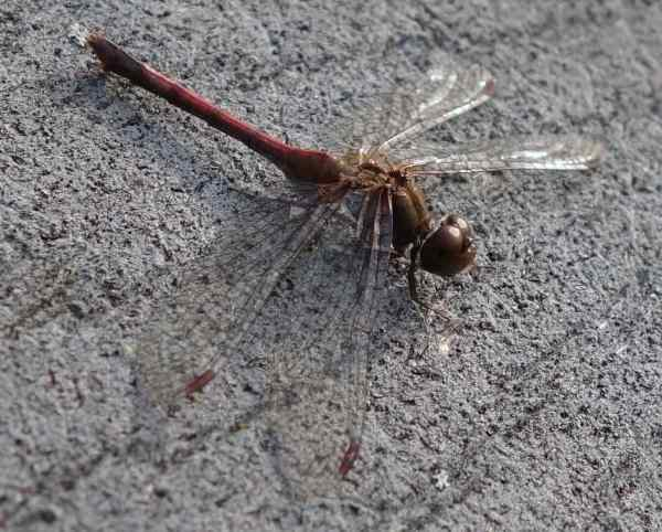 A dragonfly (or is it a damselfly?)
