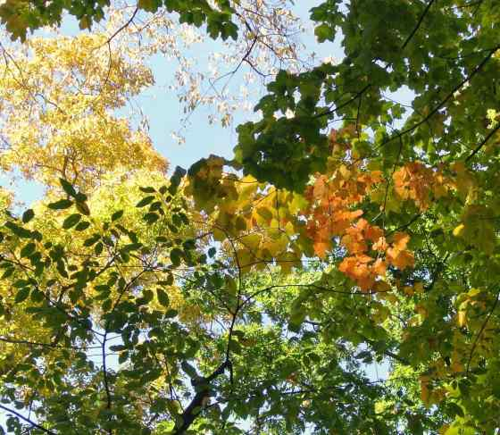 Nancy looked straight up for a bouquet of colored leaves.