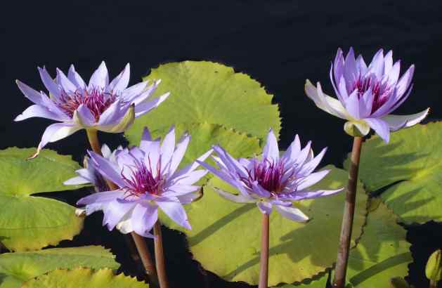 Even in the cool autumn, water lilies were still in full bloom.