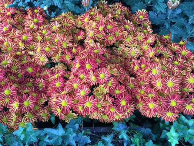 We planned to walk through the mums quickly, but noticed unusual varieties quite different from the ones we were accustomed to seeing.