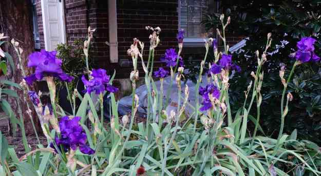 Do iris really bloom in December in Washington, DC?