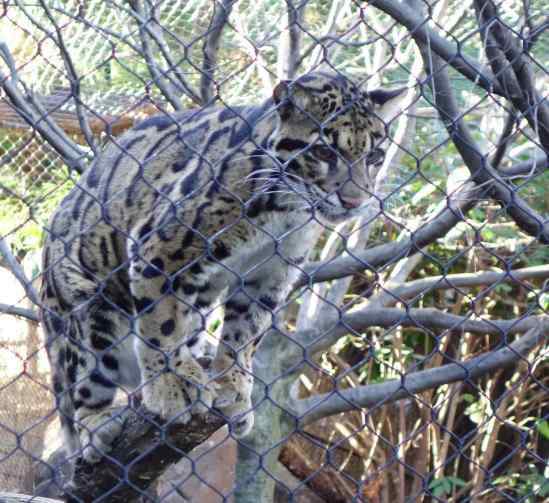 The clouded leopard watched the trainer carefully and in anticipation of the skewered food, stretched to the fence with front paws from her perch on the wooden branches.