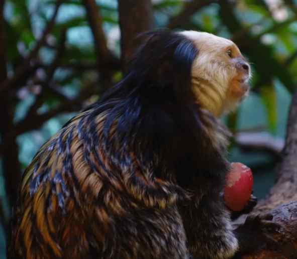 We thought this portrait of the white-headed marmoset captured a certain regal attitude.