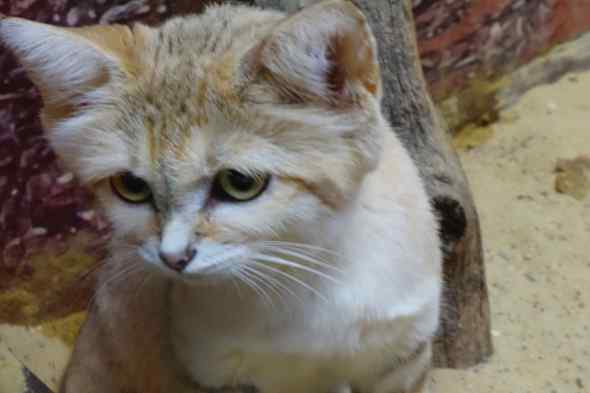 The sand cat stepped up to the glass and peered out. That gave us the perfect moment to capture this portrait. Sand cats look like house cats but live in the desert and endure temperature ranges of more than a100 degrees. The paws leave no imprint in the desert sand due to thick fur padding.