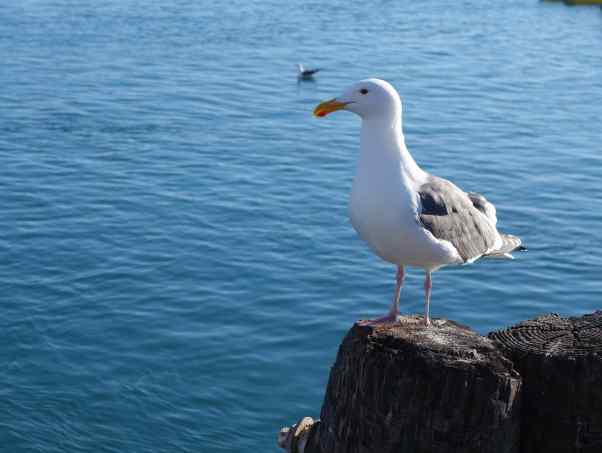 Gulls are not always easy to ID. We're pretty sure this is a Western Gull, common along the Pacific coast.
