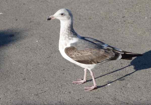 western gull - 2nd winter Morro Bay