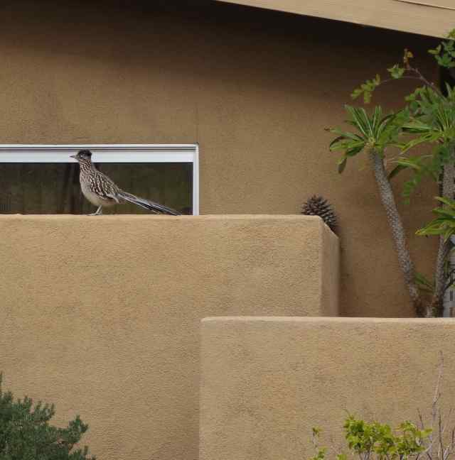 The roadrunner had flown up from the vacant lot onto a neighbor's wall.
