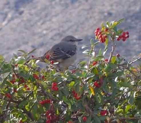 A Northern mockingbird posed for us.