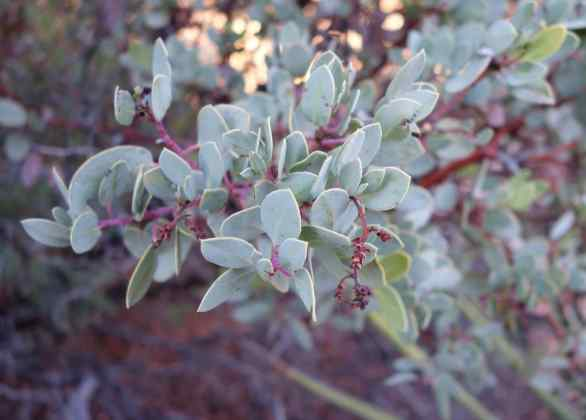 Most of the desert plants weren't familiar to us, though helpful signs pointed out creosote and manzanita bushes (pictured). Did you know Native Americans used manzanita leaves as toothbrushes?