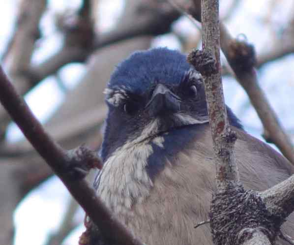 We looked up at the branch above us and saw a Western scrub jay observing us. Could we actually get his photo? Well, yes, but it was a rather goofy portrait.