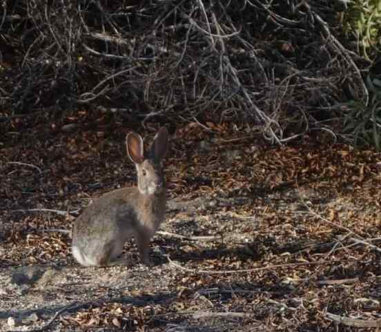 A cottontail rabbit stopped and watched us intently, before disappearing into the brush.
