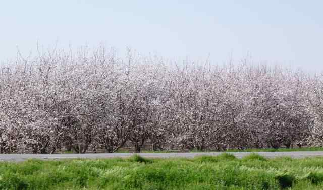 Almond trees almost appeared to be powdered by snow. The smog in the atmosphere enhanced the look.