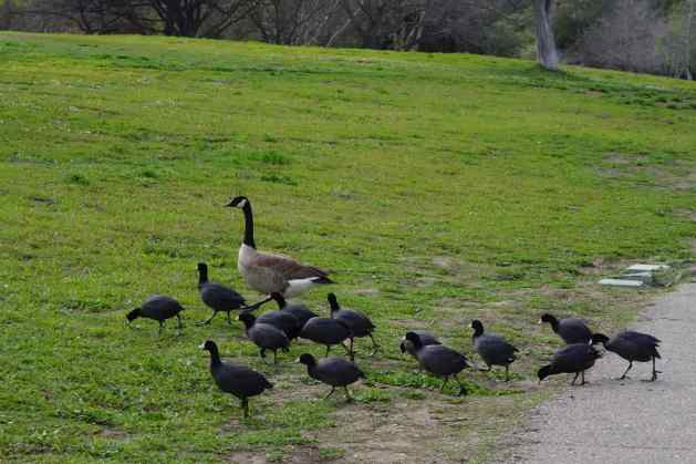 We enjoyed this homey scene of American coots led by a Canada goose on our visit to Vasona Park in Los Gatos.