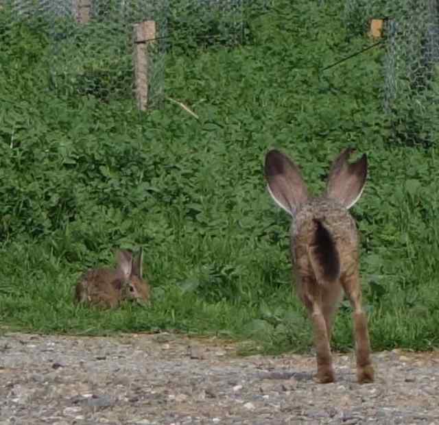 It wasn't just birds we watched. We didn't remember ever having seen a black-tailed jackrabbit before.