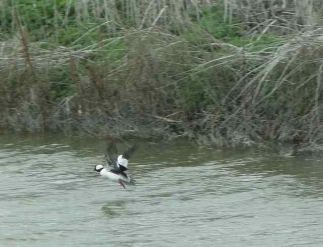 Most of the birds were skittish and too far away to easily photograph with my camera. This bufflehead was almost able to fly out of the photo frame.
