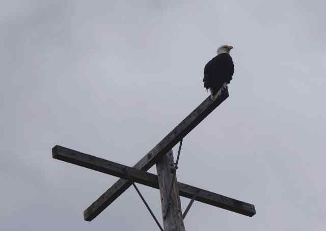 We counted ten eagles – both golden and bald - while at Lower Klamath. These are their nesting grounds.