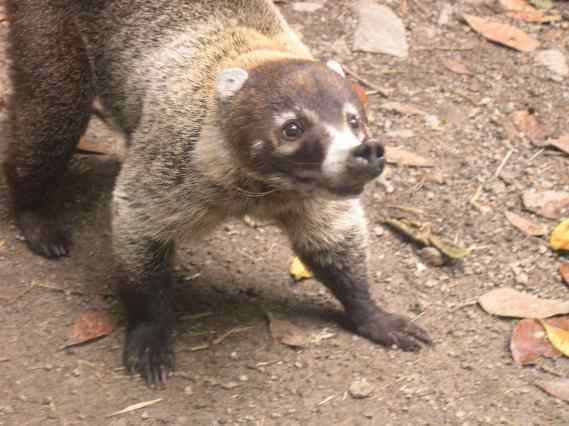 Santa Elena, Costa Rica, 2006: A coati appeared unexpectedly when our backs were turned, looking up watching for birds.