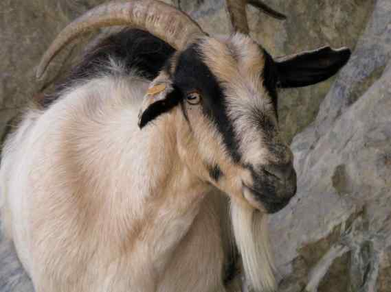 Parque Nacional de Picos de Europa, Spain, 2010: The goats in Cares Gorge make clear that they are the park residents and visiting hikers need to step around.