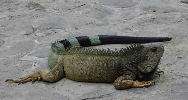 Iguanas call the park their home.