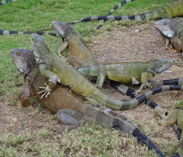 Despite the sign that prohibits feeding them, about 30 iguana gathered waiting for a handout. Others climbed trees or wandered off exploring other areas, eating fallen leaves whenever they appeared.