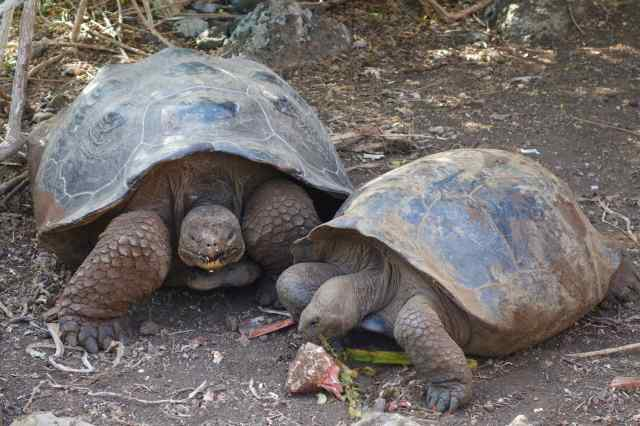 We viewed the Galapagos tortoises at the conservation and breeding center on San Cristobal Island where these two bickered over a piece of food.
