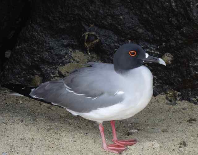 Lava gulls are only found on the Galapagos Islands and are the rarest gull in the world, with only 300-600 individuals recorded in 2015.