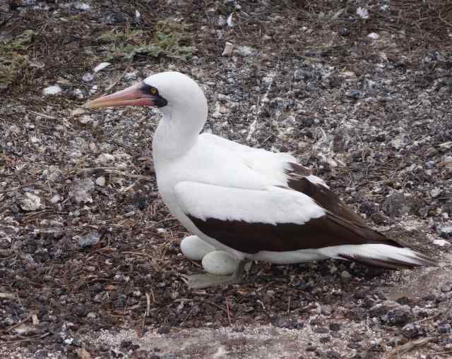 A Nazca booby protected its two eggs in a nest just a few feet from the walking path.