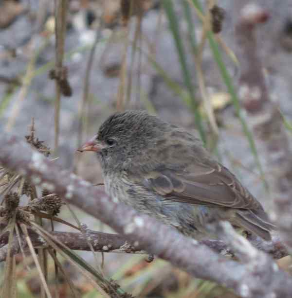 Finch, sharp-beaked (young juv)
