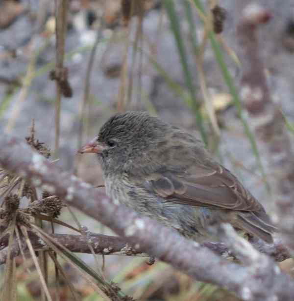 Finch, sharp-beaked (young juv)