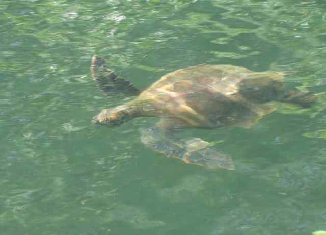 Yes, turtles live in the water, and hanging over the side of the panga is not an easy way to get a clear photo. Let's just say this photo is proof we saw Pacific green turtles.