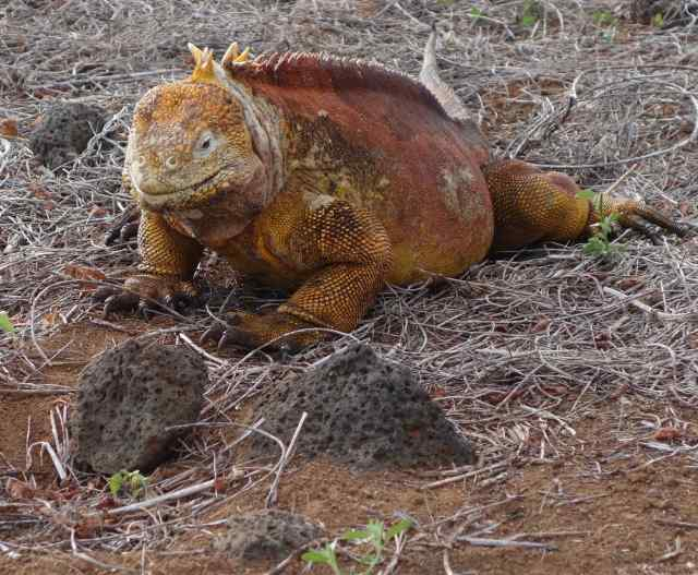 We walked down a path spotting male land iguanas every few minutes, protecting their territory. We did see female land iguanas, too, on their own walks to check out the males.