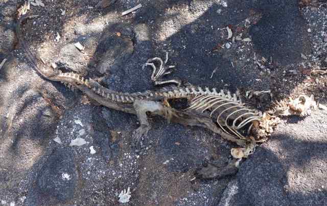 But something was happening here. An alarming number of dead marine iguana bodies littered the lava rock.