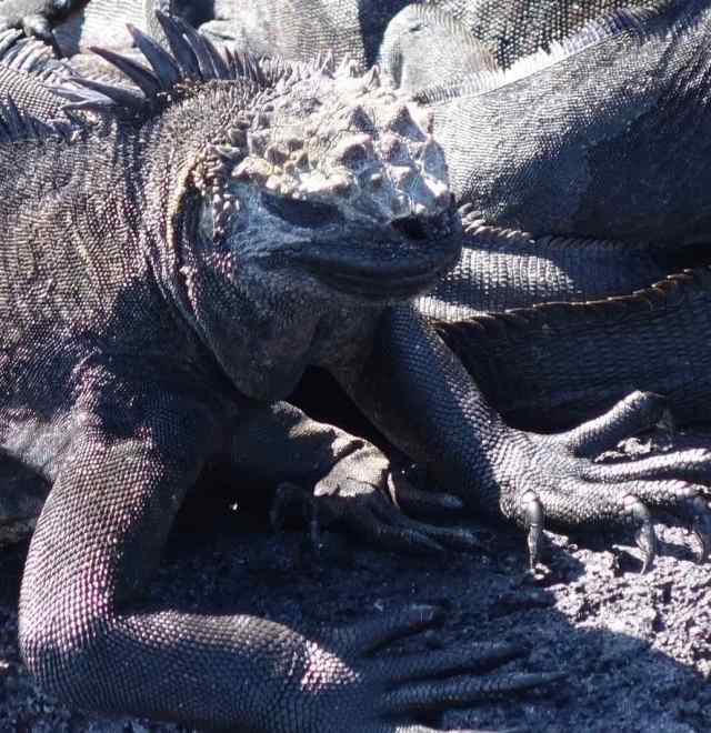 A common ancestor iguana came to the Galapagos Islands from the mainland South America. They split over ten million years ago into two groups: land and marine iguanas. The only place in the world to see marine iguanas is the Galapagos.
