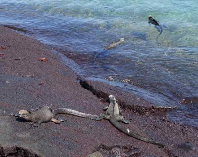 We watched the marine iguanas scurry down the sand to the water's edge. It took just a second before they were moving quickly through the water, propelled forward by shimmying their body and tail.