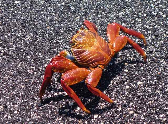 One of those scavengers is the Sally Lightfoot crab.