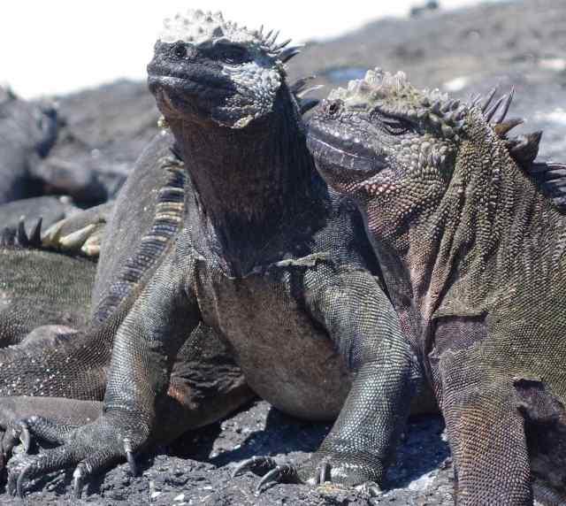 A portrait of two marine iguanas