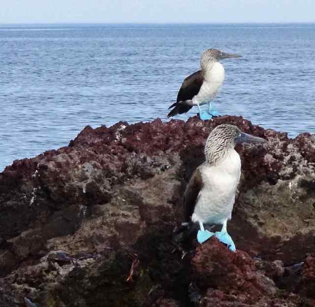 We kept seeing birds in pairs. Was this a continuation of mating season for these birds, or a show of fidelity, as we suspected? Then we found out blue-footed boobies are monogamous, so maybe we were correct.