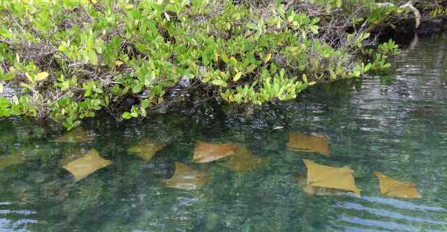 When we looked down into the water, we saw golden cownose rays (photo), green sea turtles, and Galapagos penguins.