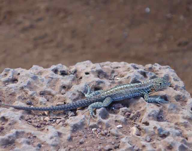 With so many imposing and photogenic iguanas to see, we realized (too late!) that we'd taken only a few photos of Galapagos lava lizards.