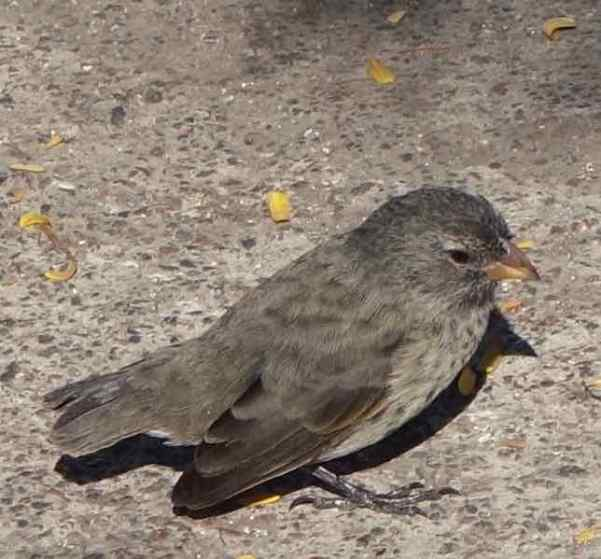 his female small ground finch's beak is refined for eating small seeds and parasites from tortoises and iguanas.