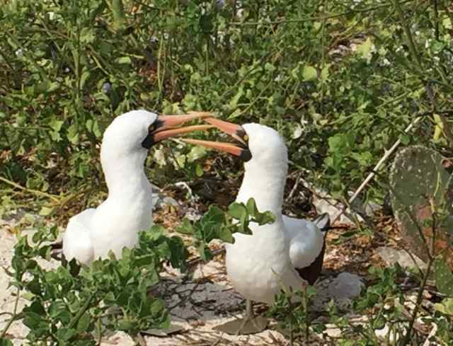 Courtship for a pair of Nazca boobies
