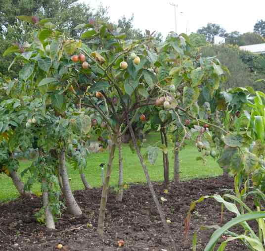 """Some weeks later we walked through the """"Inca"""" garden at Pumapungo and spotted tomaté de arbol growing on short trees."""